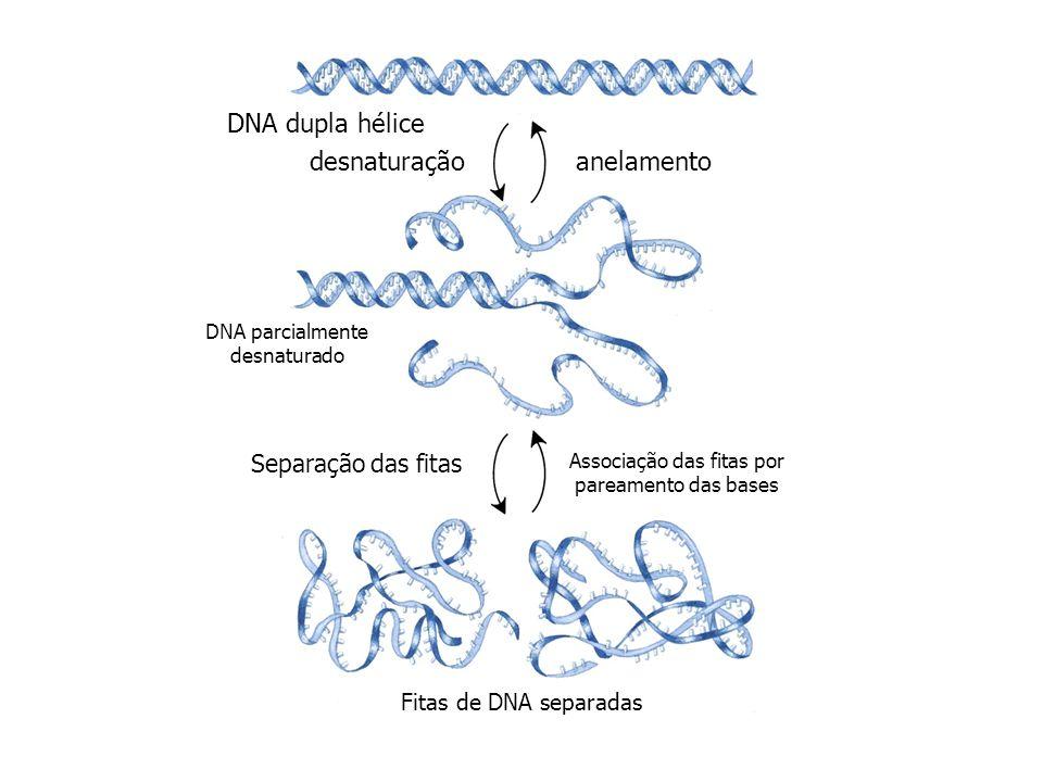 DNA dupla hélice anelamentodesnaturação DNA parcialmente desnaturado Separação das fitas Associação das fitas por pareamento das bases Fitas de DNA se