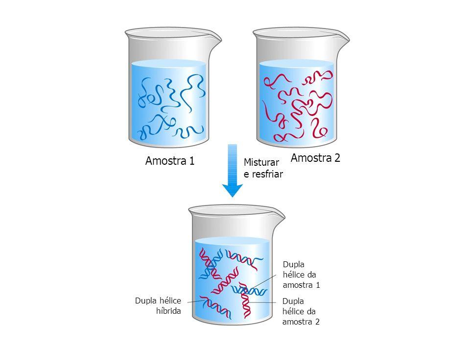 Amostra 1 Amostra 2 Misturar e resfriar Dupla hélice da amostra 1 Dupla hélice da amostra 2 Dupla hélice híbrida