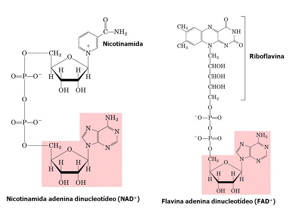 Nicotinamida adenina dinucleotídeo (NAD + ) Flavina adenina dinucleotídeo (FAD + ) Nicotinamida Riboflavina