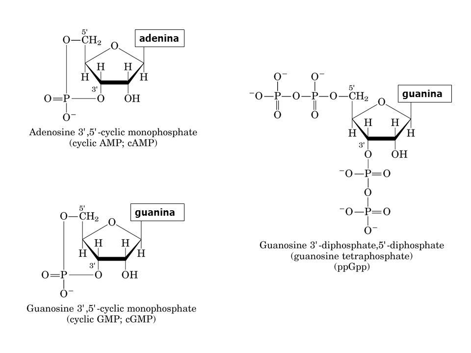 adenina guanina