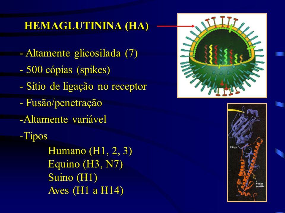 HEMAGLUTININA (HA) - Altamente glicosilada (7) - 500 cópias (spikes) - Sítio de ligação no receptor - Fusão/penetração -Altamente variável -Tipos Huma
