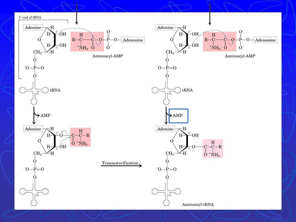 Há ativação do aminoácido para formação da ligação peptídica e a ligação do aa a um tRNA adaptador que direciona sua colocação. aminoácido Classe I am
