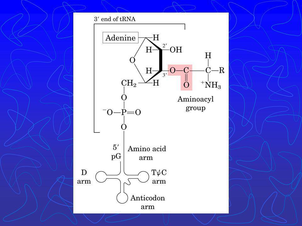 A identidade do aminoácido ligado ao tRNA não é checada no ribossomo; A ligação do aminoácido correto é essencial para a fidelidade da síntese de prot