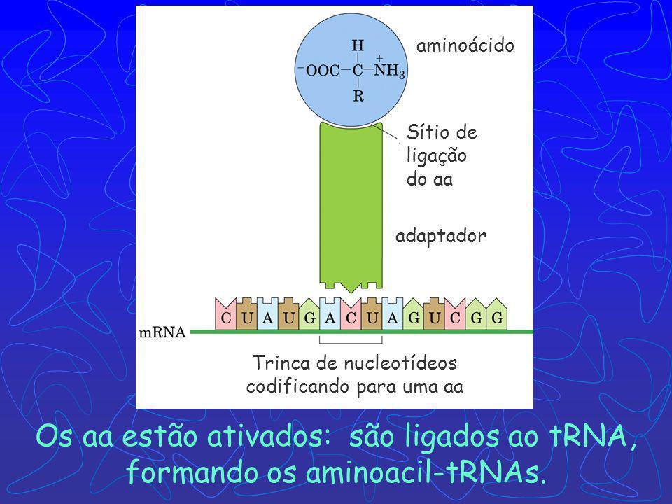 Os aa estão ativados: são ligados ao tRNA, formando os aminoacil-tRNAs.