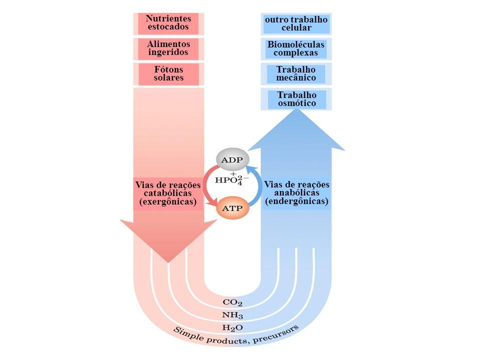 Quimiotripsina: sítio ativo com um substrato.