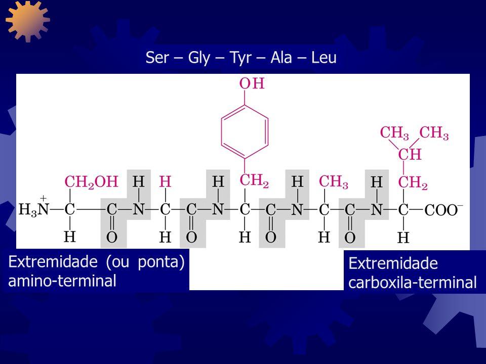Extremidade (ou ponta) amino-terminal Extremidade carboxila-terminal Ser – Gly – Tyr – Ala – Leu