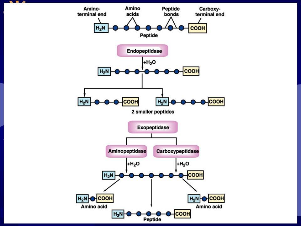 Proteínas são digeridas em pequenos peptídeos ou aminoácidos As enzimas para digestão das proteínas estão inicialmente presentes como precursores inativos ou ZIMOGÊNIOS; Pepsinogênio: presente no suco gástrico, converte-se em pepsina; Tripsinogênio e quimiotripsinogênio: sintetizados pelo pâncreas, no intestino convertem-se em tripsina e quimiotripsina.