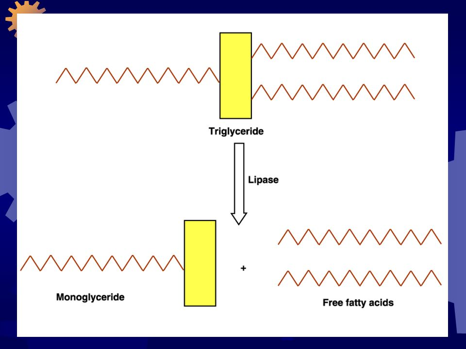 As gorduras entram no intestino delgado em forma de uma EMULSÃO (pequenas gotas suspensas em um líquido); Então, os sais biliares encobrem a emulsão para estabilizar; A lipase pancreática é a responsável pela digestão dos TAG na emulsão em monoglicerídeos e ácidos graxos livres; Enquanto a digestão prossegue, todos estes componentes formam pequenas micelas.