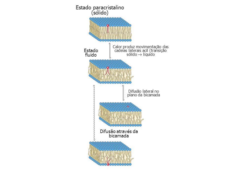 Estado paracristalino (sólido) Calor produz movimentação das cadeias laterais acil (transição sólido líquido Estado fluido Difusão lateral no plano da bicamada Difusão através da bicamada