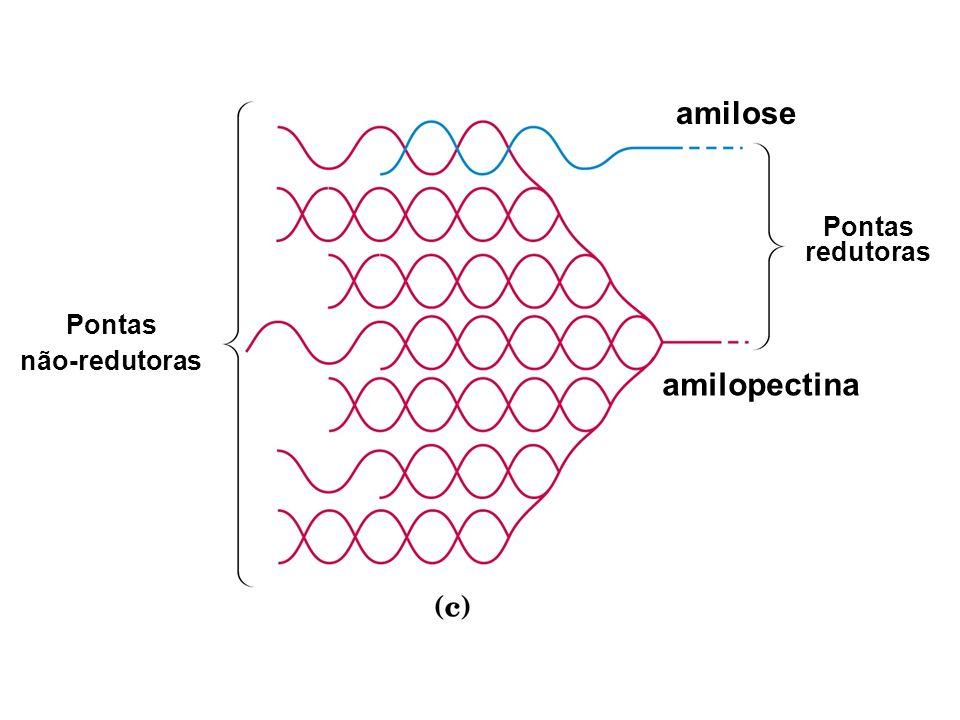 amilose amilopectina Pontas redutoras Pontas não-redutoras