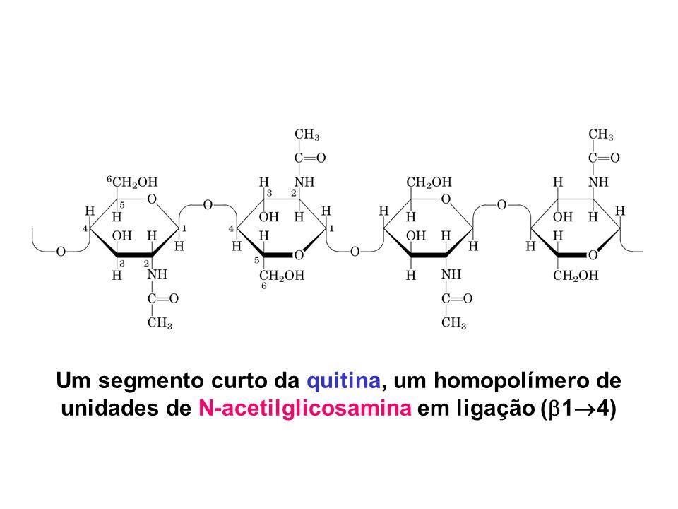 Um segmento curto da quitina, um homopolímero de unidades de N-acetilglicosamina em ligação ( 1 4)
