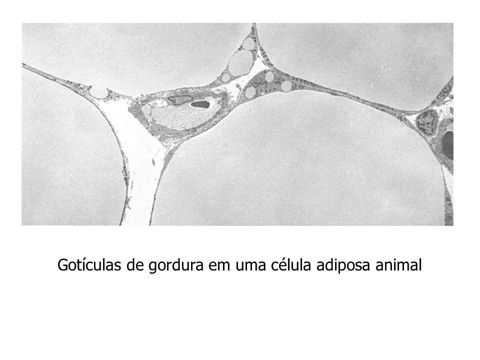 Gotículas de gordura em uma célula adiposa animal