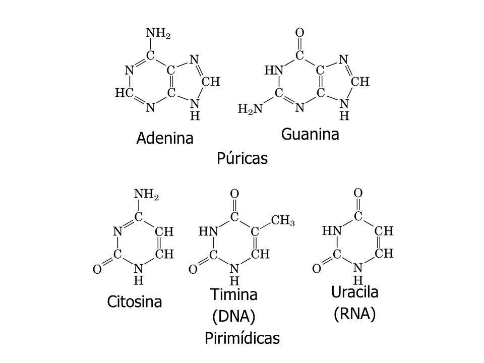 Adenina Guanina Citosina Timina (DNA) Uracila (RNA) Púricas Pirimídicas