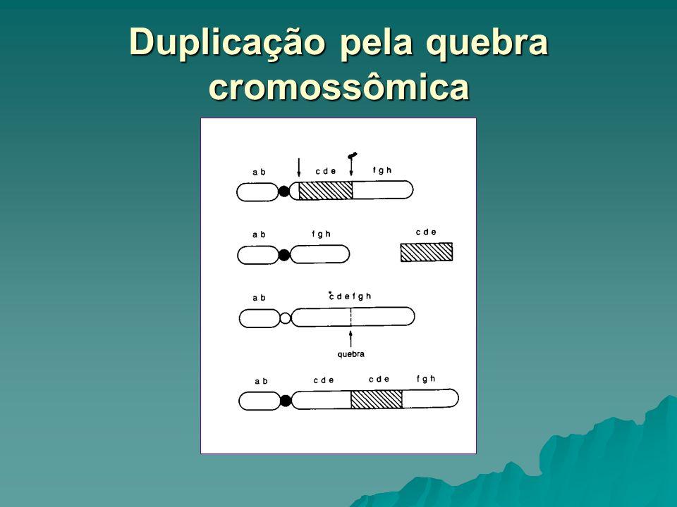 Duplicação pela quebra cromossômica