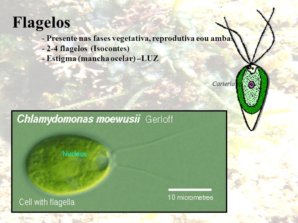 Flagelos - Presente nas fases vegetativa, reprodutiva eou ambas - 2-4 flagelos (Isocontes) - Estigma (mancha ocelar) –LUZ Carteria sp
