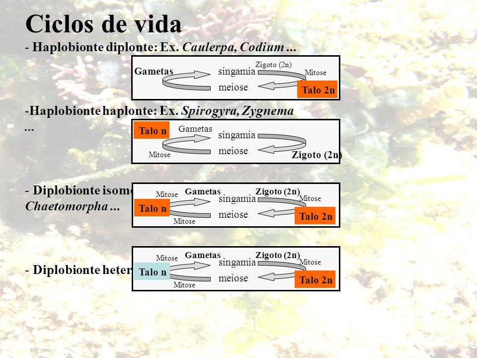 Ciclos de vida - Haplobionte diplonte: Ex. Caulerpa, Codium... -Haplobionte haplonte: Ex. Spirogyra, Zygnema... - Diplobionte isomórfico: Ex. Ulva, Ch