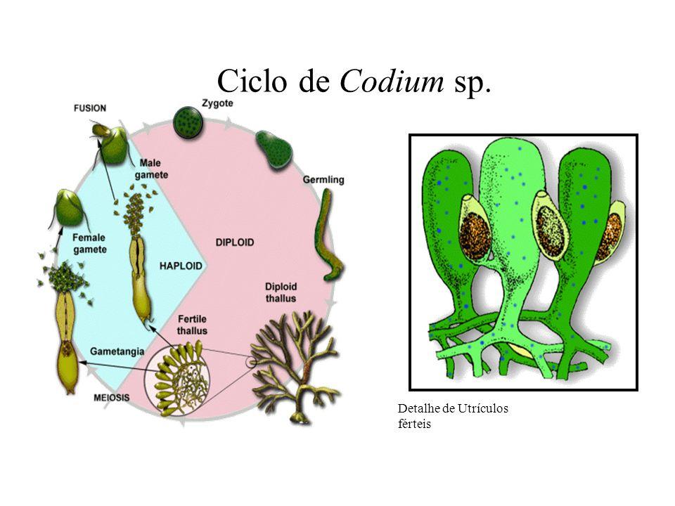 Detalhe de Utrículos férteis Ciclo de Codium sp.