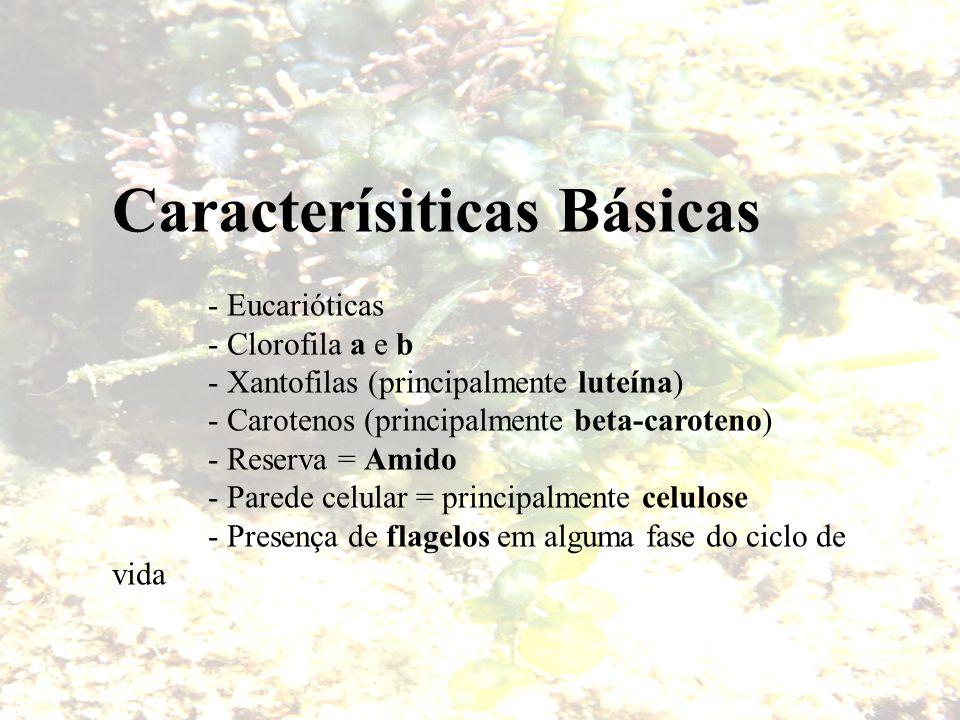 Caracterísiticas Básicas - Eucarióticas - Clorofila a e b - Xantofilas (principalmente luteína) - Carotenos (principalmente beta-caroteno) - Reserva =