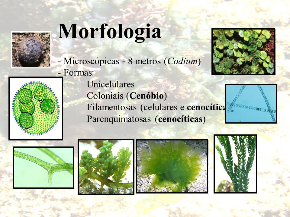 Morfologia - Microscópicas - 8 metros (Codium) - Formas: Unicelulares Coloniais (Cenóbio) Filamentosas (celulares e cenocíticas) Parenquimatosas (ceno