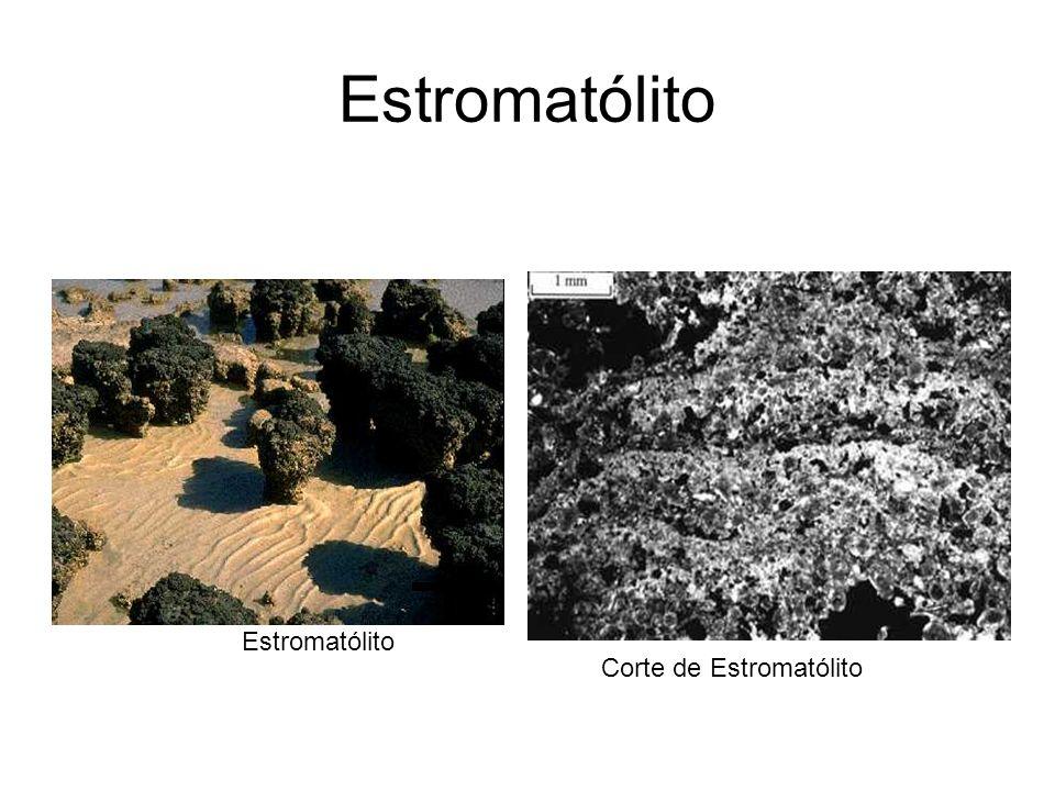 Estromatólito Corte de Estromatólito