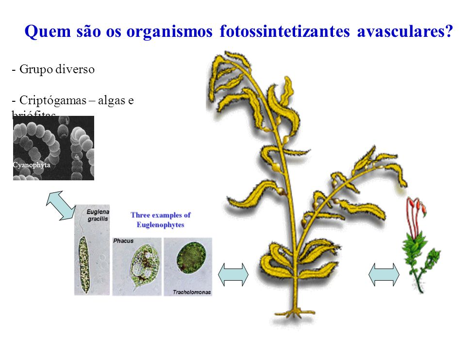 Quem são os organismos fotossintetizantes avasculares? - Grupo diverso - Criptógamas – algas e briófitas Cyanophyta