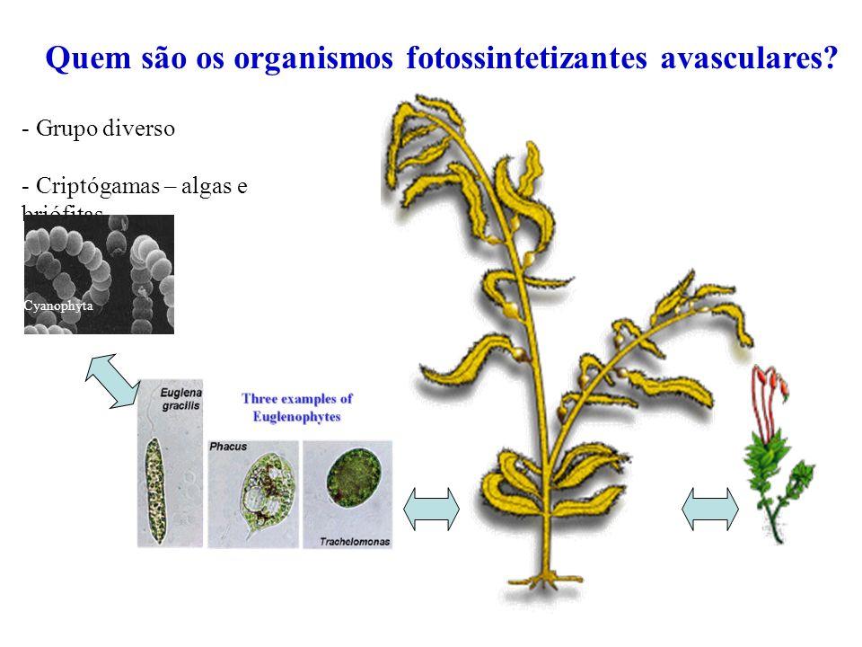 Talos multicelulares Clorófita Cianófita Rodófita BriófitaFeófita