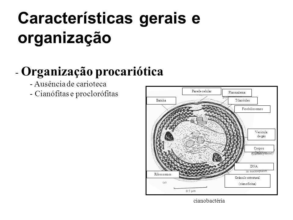 - Organização procariótica - Ausência de carioteca - Cianófitas e proclorófitas cianobactéria Parede celular Plasmalema Ficobilissomos Tilacóides Vesí