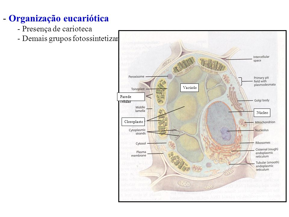 Cyanophyta Habitat – aquáticos, ocasionalmente endolíticos Pigmentos – clorofila a; carotenos; luteina; zeaxantina; ficobiliproteinas Substância de reserva – amido das cianofíceas – (similar ao glicogêncio), cianoficina Organização celular – Procariontes; tilacóides livresc/ ficobilissomos; heterocisitos Parede celular –hemicelulose e mureina Reprodução – Assexual.