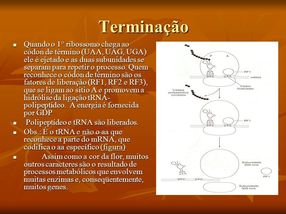 Terminação Quando o 1° ribossomo chega ao códon de término (UAA, UAG, UGA) ele é ejetado e as duas subunidades se separam para repetir o processo. Que