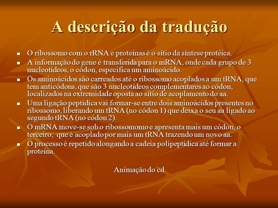 A descrição da tradução O ribossomo com o rRNA e proteínas é o sítio da síntese protéica. O ribossomo com o rRNA e proteínas é o sítio da síntese prot