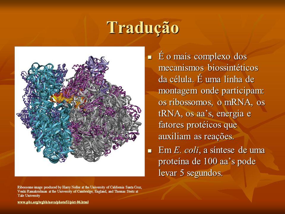 Tradução É o mais complexo dos mecanismos biossintéticos da célula. É uma linha de montagem onde participam: os ribossomos, o mRNA, os tRNA, os aas, e