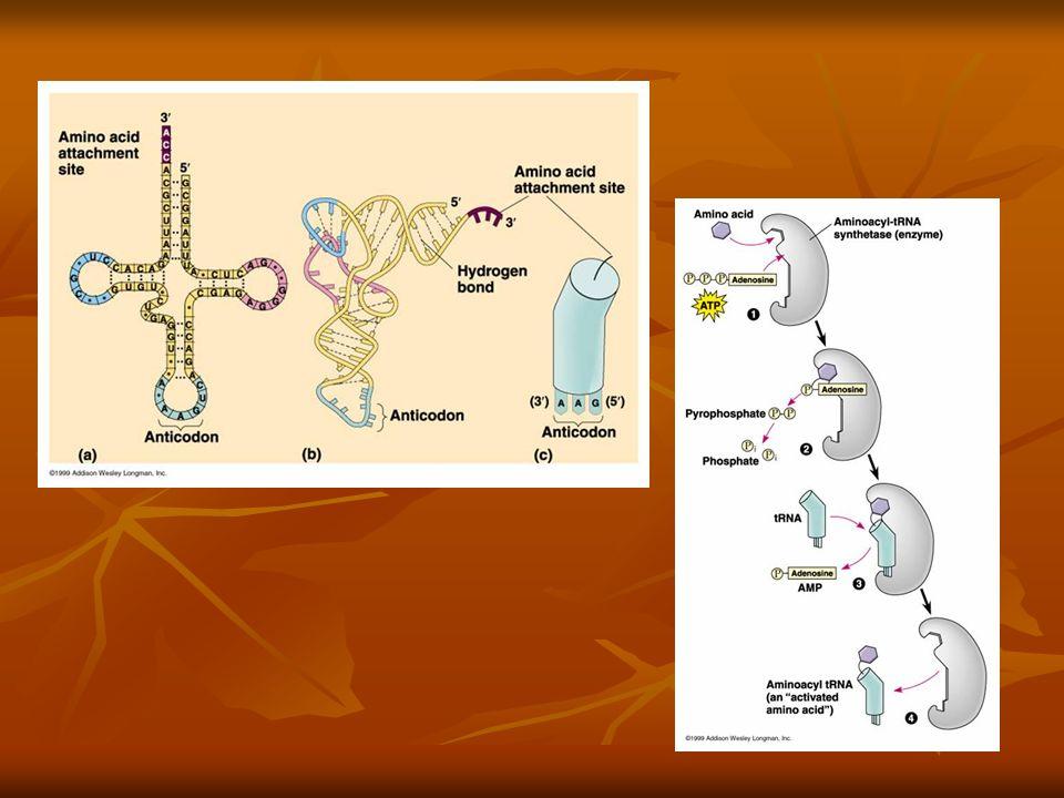 Acoplamento do aa ao tRNA (cont) Acoplamento do aa ao tRNA (cont) Uma aminoacil-tRNA sintetase junta um espeçifico aa ao seu respectivo tRNA em uma reação de dois estágios: 1) O aa é ativado com ATP; 2) O aa é ligado ao tRNA por uma ligação de alta energia ao carbono 2 ou ao 3 da ribose localizada na extremidade 3 do tRNA (reação mediada pela enzima sintetase).