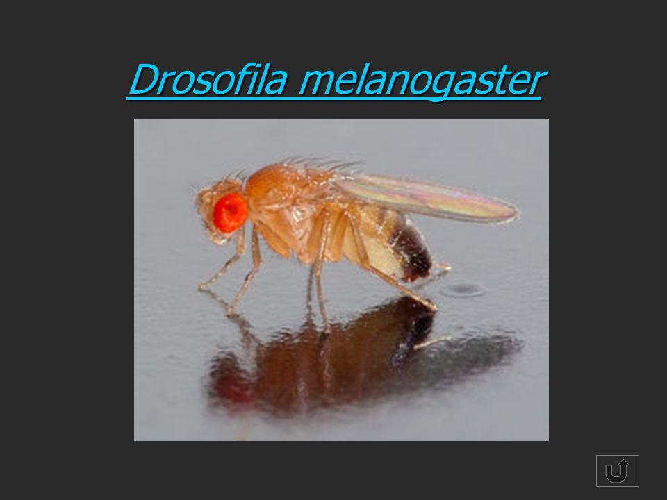Drosofila melanogaster Drosofila melanogaster
