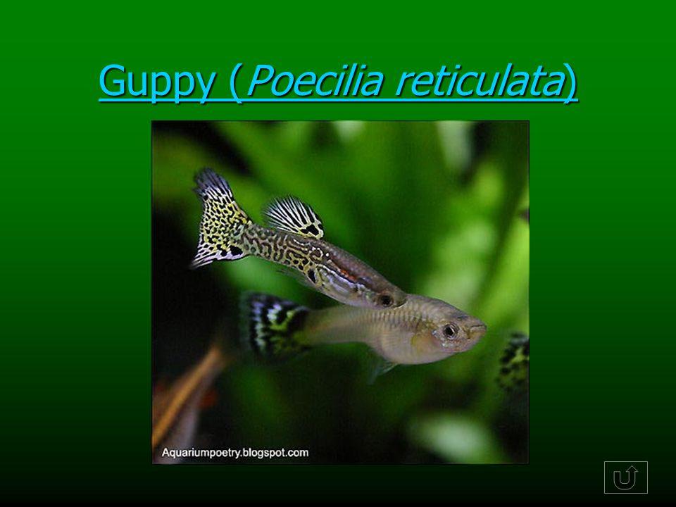 Guppy (Poecilia reticulata) Guppy (Poecilia reticulata)