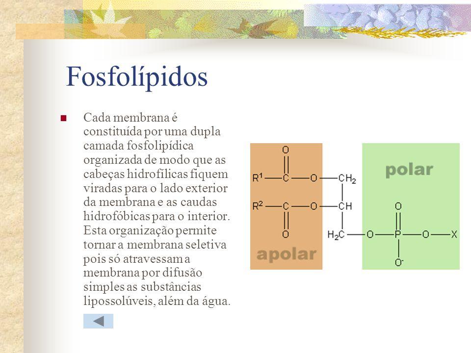 Fosfolípidos Cada membrana é constituída por uma dupla camada fosfolipídica organizada de modo que as cabeças hidrofílicas fiquem viradas para o lado