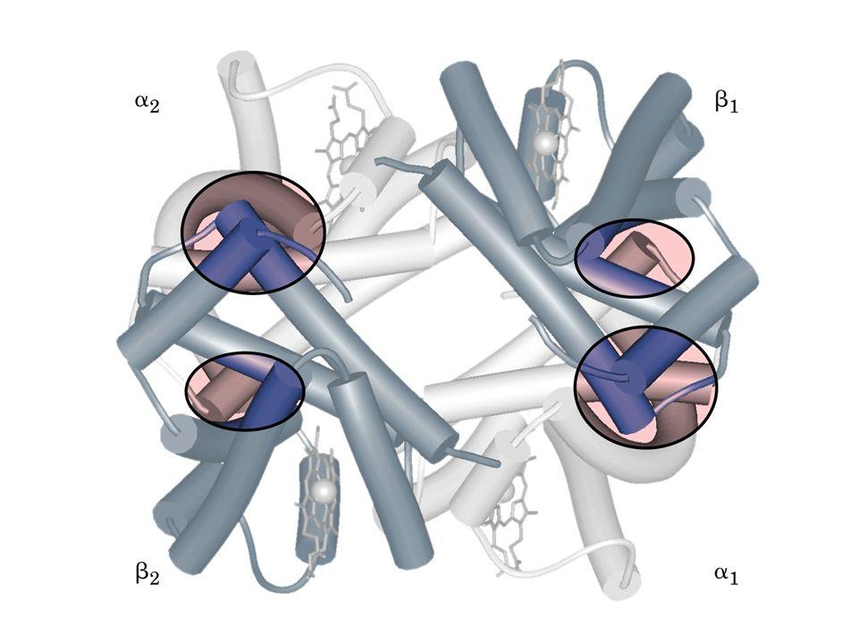mioglobina Subunidade da hemoglobina Grupo heme