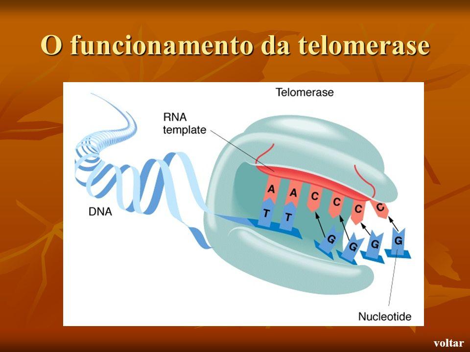 O funcionamento da telomerase voltar