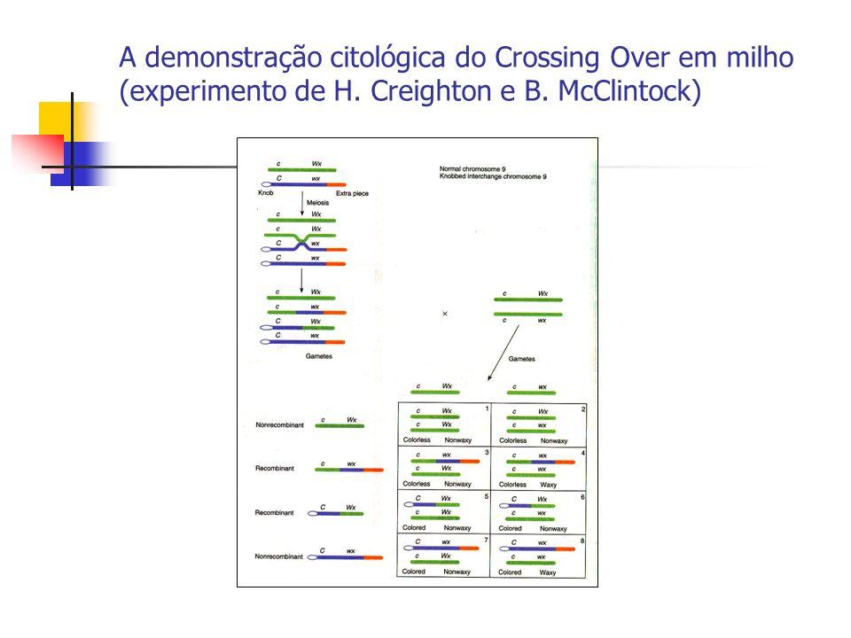 A demonstração citológica do Crossing Over em milho (experimento de H. Creighton e B. McClintock)