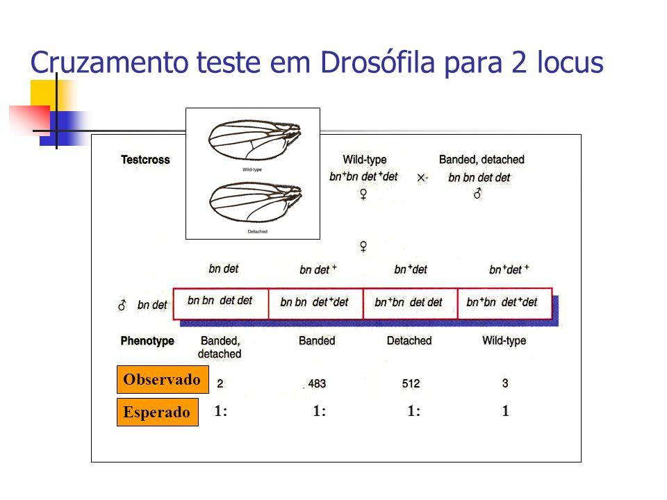 Esperado Observado 1: 1 Cruzamento teste em Drosófila para 2 locus