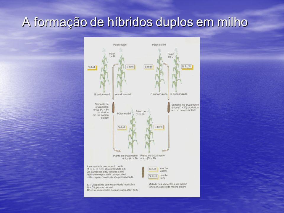 A formação de híbridos duplos em milho