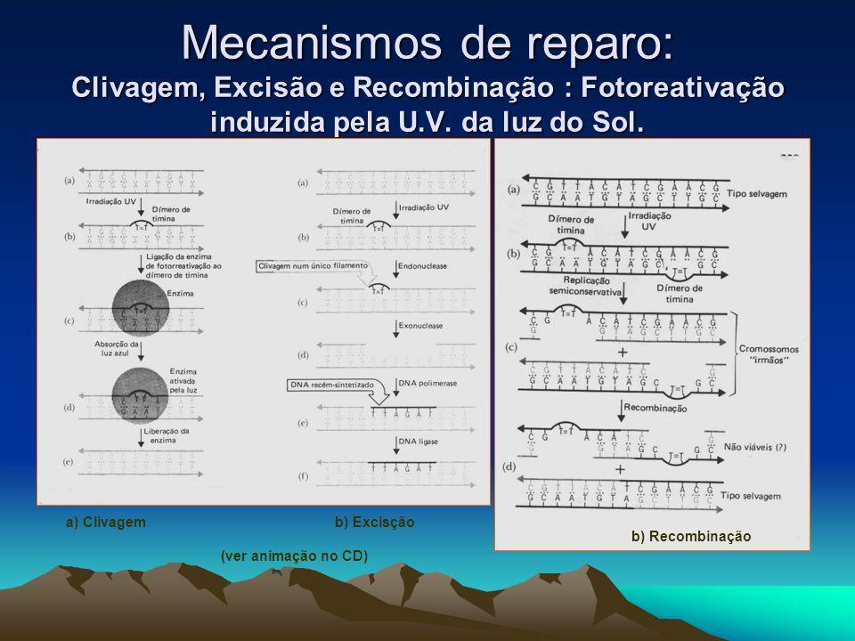Mecanismos de reparo: Clivagem, Excisão e Recombinação : Fotoreativação induzida pela U.V. da luz do Sol. a) Clivagemb) Excisção b) Recombinação (ver