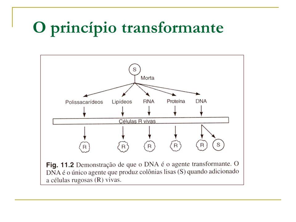 O material genético (1910-1999) O RNA como material genético 1955 – H.