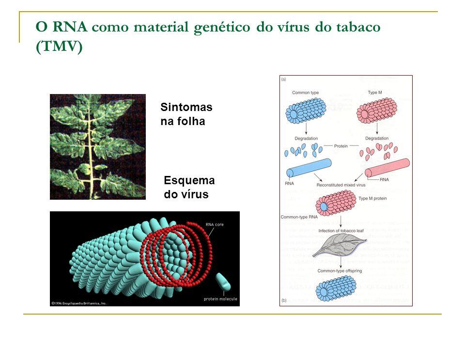 O material genético O DNA em virus 1952 – Alfred Hershey e Martha Cowles Chase comprovaram que o DNA do fago T2 era o responsável pela infecção e não a sua cápsula de proteína (1908-1997) (1927-2003)