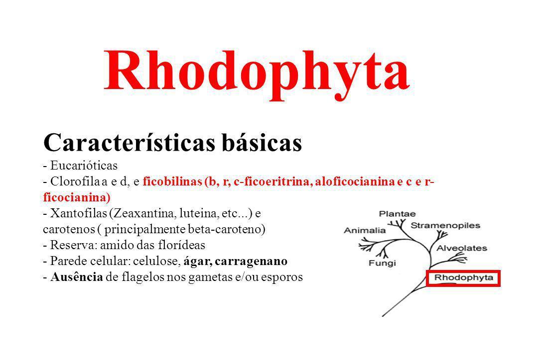 Semelhanças entre Rhodophyta & Cyanophyta Ausência de estágios flagelados Presença de ficobilinas Cloroplastos de Rhodophyta Célula de Cyanophyta...Procarionte e eucarionte!!!