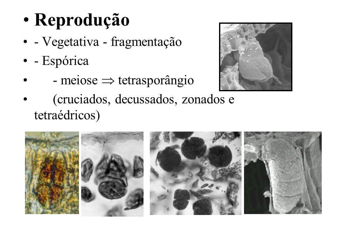 Reprodução - Vegetativa - fragmentação - Espórica - meiose tetrasporângio (cruciados, decussados, zonados e tetraédricos)