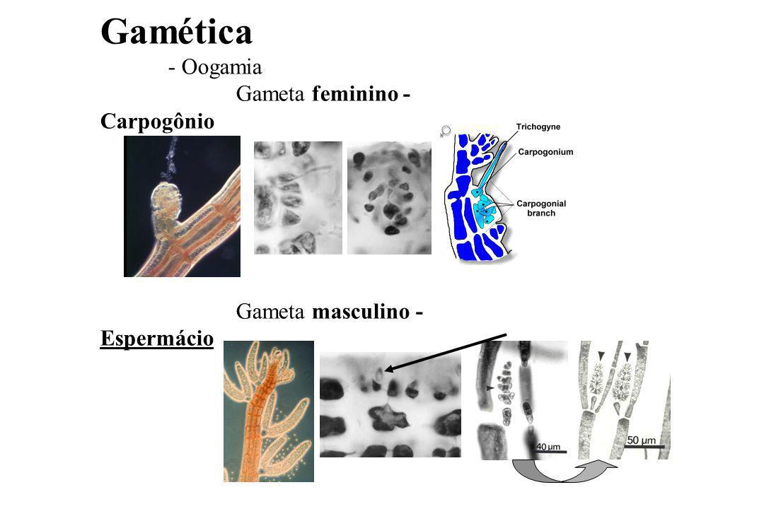 Gamética - Oogamia Gameta feminino - Carpogônio Gameta masculino - Espermácio