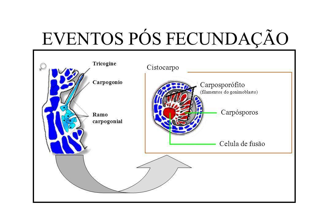 EVENTOS PÓS FECUNDAÇÃO Celula de fusão Carpósporos Carposporófito (filamentos do gonimoblasto) Cistocarpo Ramo carpogonial Carpogonio Tricogine