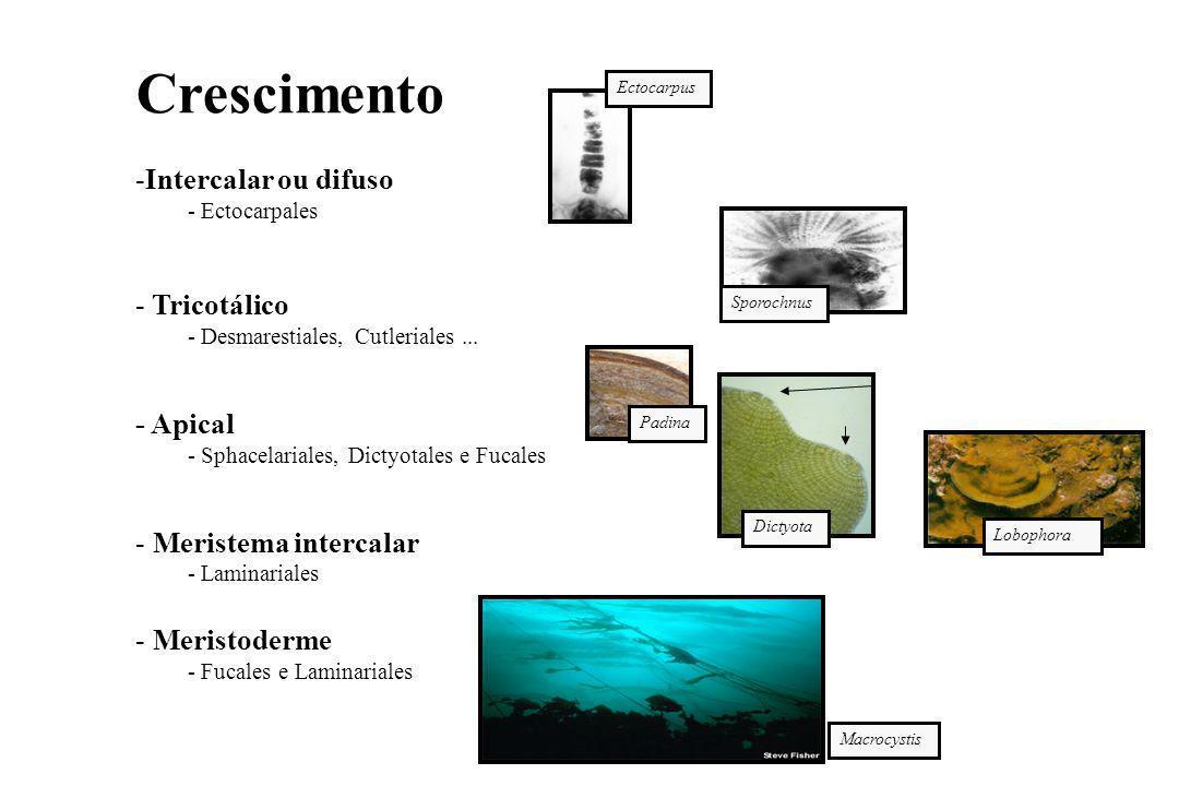 Crescimento -Intercalar ou difuso - Ectocarpales - Tricotálico - Desmarestiales, Cutleriales...