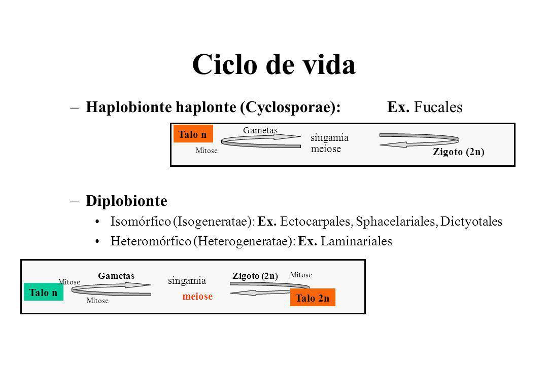 Ciclo de vida –Haplobionte haplonte (Cyclosporae): Ex.