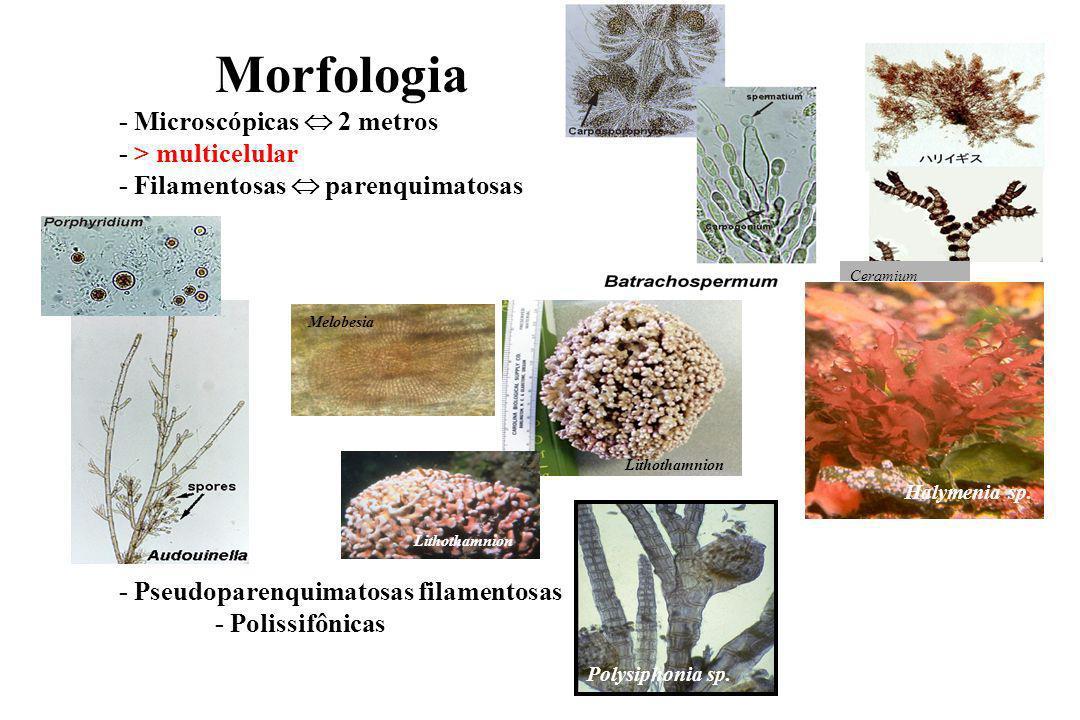 Morfologia - Microscópicas 2 metros - > multicelular - Filamentosas parenquimatosas - Pseudoparenquimatosas filamentosas - Polissifônicas Ceramium Lithothamnion Polysiphonia sp.